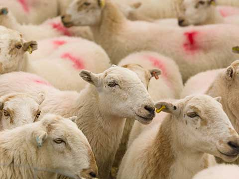 Welsh voice over for livestock business